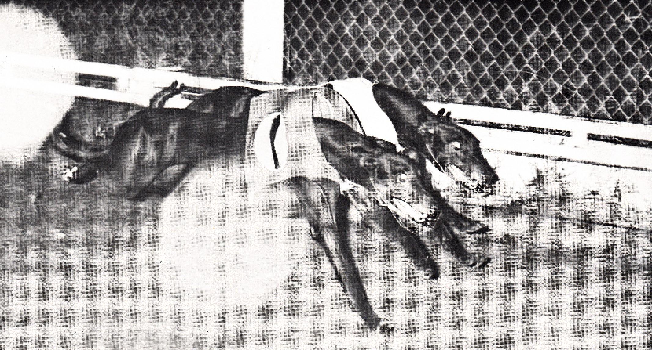 Petite Panther winning at Cessnock. - History of Greyhound ...
